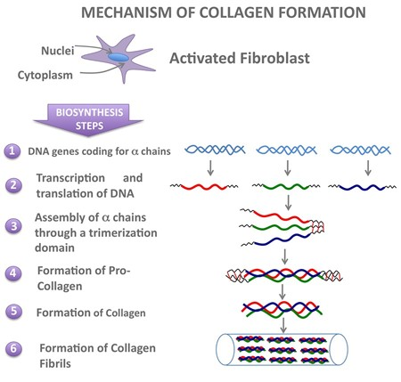 collagen formation and synthesis in skin care