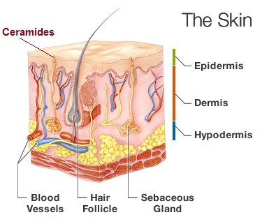 what are ceramides in skin care
