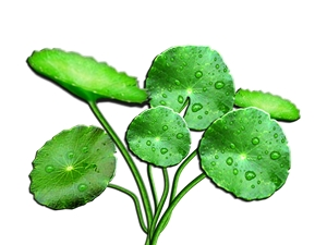 centella asiatica in skin care