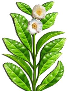 Green Tea  EGCG skin care