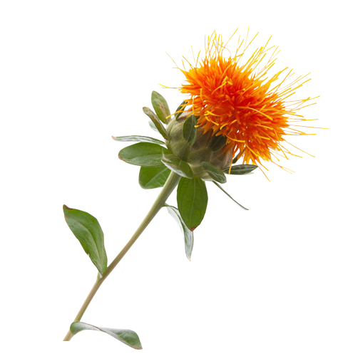 Safflower seed oil in skin care