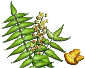 Boswellia Serrata skin care