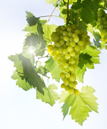 Grape seed oil in skin care